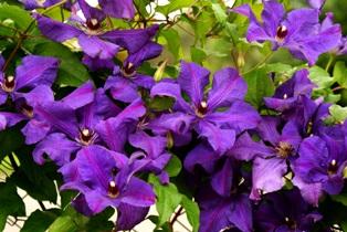 клематис фиолетовый,клематис,цветы клематисов