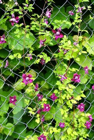 клематис,цветы клематисов, клематис Пурпуреа Плена Элеганс