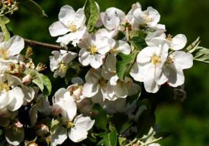 цветы яблони,фото цветов яблони