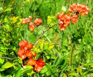 цветы айвы японской,айва японская