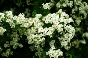 цветы боярышника,боярышник