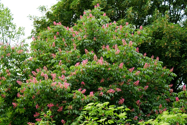 цветение мясо-красного каштана