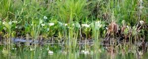 фото белокрыльника болотного