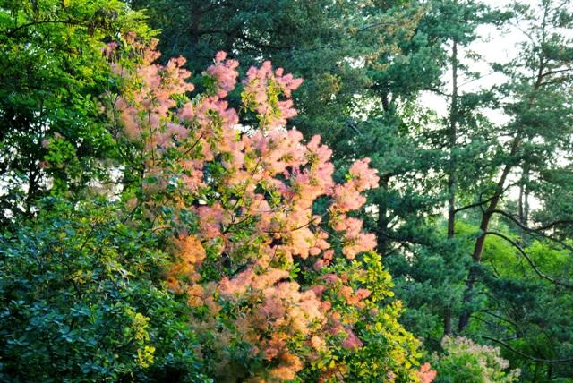 скумпия,цветы скумпии,фото скумпии