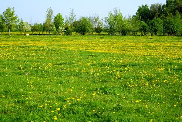 цветы одуванчика,фото одуванчиков