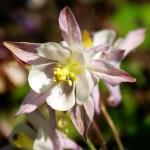 бледно-розовая аквилегия