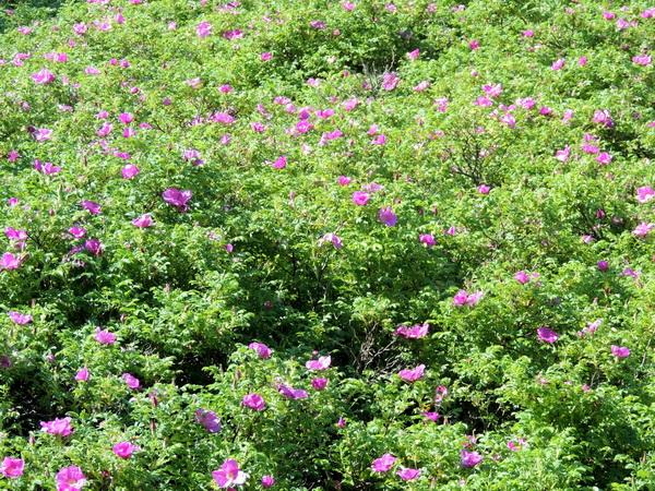 шиповник морской,розовые цветы шиповника
