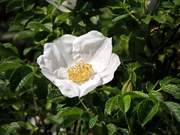 шиповник морской, белый цветок шиповника